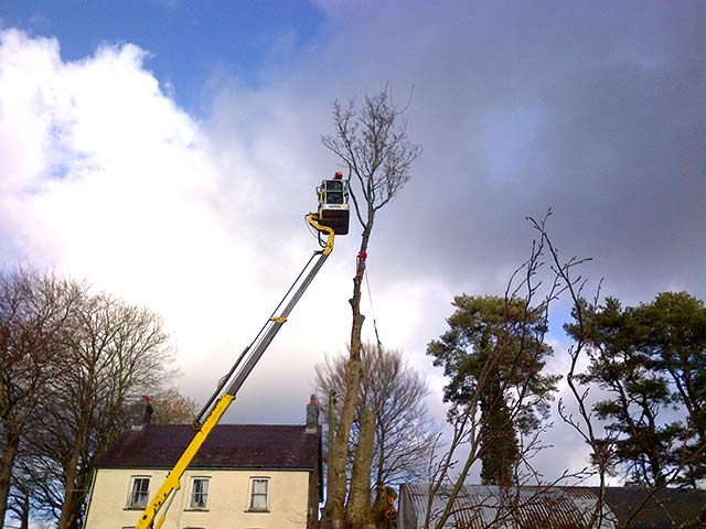 Image of Sectional tree felling in progress using our MEWP for access